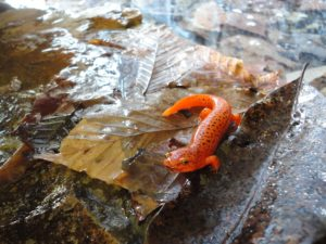 Our surveys aimed to capture the entire salamander community, including this red salamander (Psuedotriton ruber).